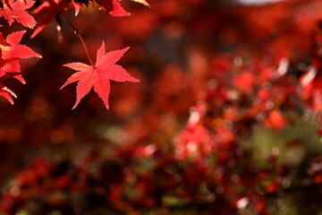 日本の秋の紅葉