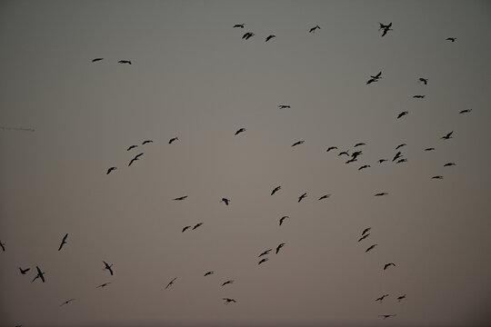 Skein of Geese over Merced Wildlife Refuge