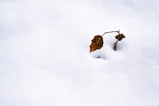 Lonely wither leaf on the snow.