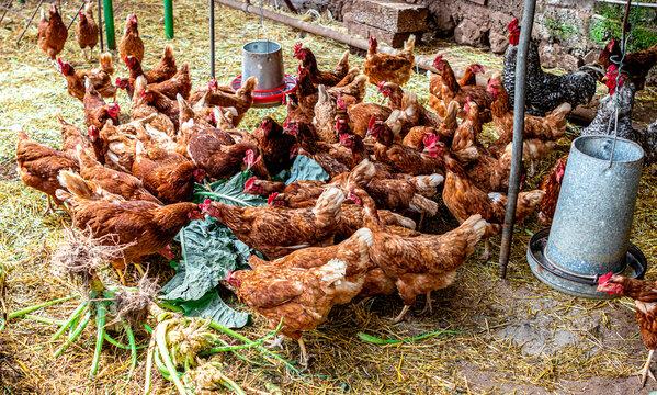 Gallinas criadas en el suelo en finca rural
