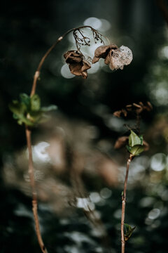 Dried flowers and twigs on hortensia plant in garden