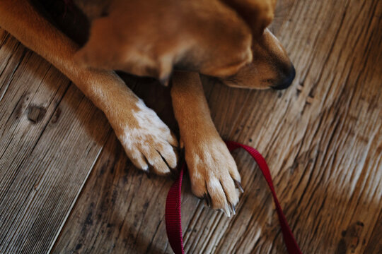 Overhead shot of dog paws holding leash against wooden floor