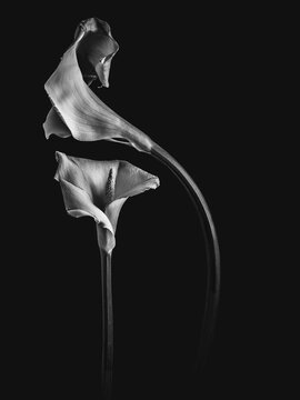 calla lillys in bw