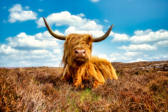 A highland cattle on the Applecross peninsula