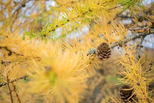 European Larch tree (Larix decidua) cones on a branch with yellow needles at autumn