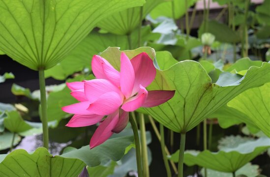 A Blooming Pink Waterlily Lotus Flower in the Pond