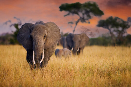 A herd of wild elephants walk through tall grass in Tarangire National Park, Tanzania, East Africa