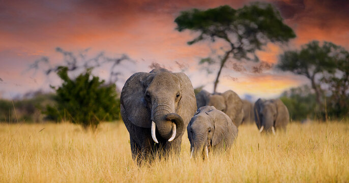 A herd of wild elephants walk through the savanna of Tarangire National Park in Tanzania, East Africa