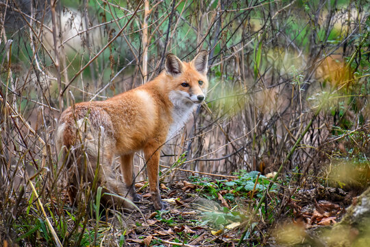 Red Fox, beautiful animal on green vegetation in the forest, in the nature habitat