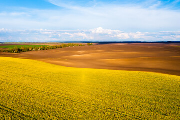 Wall Mural - Bright yellow field and perfect blue sky. Agricultural area of Ukraine, Europe.