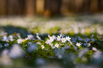 Wall Mural - Snowdrop nemerosa. Ground level view of lovely flowers in woods.