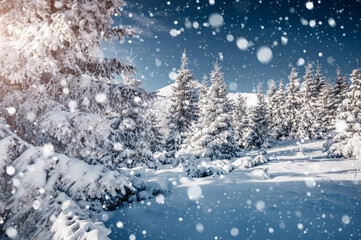 Wall Mural - Gorgeous white spruces on a frosty day. Location Carpathian national park, Ukraine, Europe.