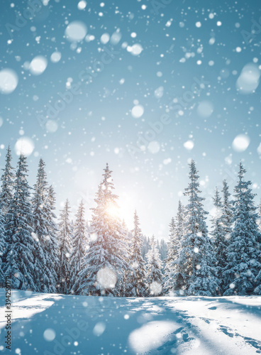 Wall mural Vivid white spruces on a frosty day. Location Carpathian mountain, Ukraine, Europe.