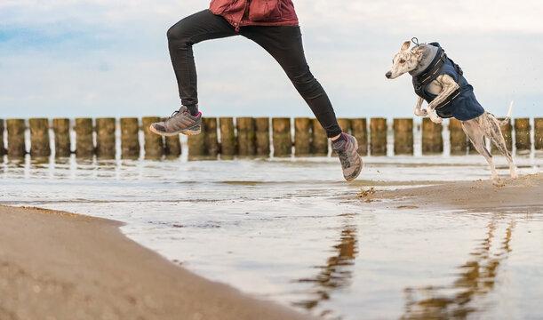 Whippet, Windhund Hund springt am Ostsee Strand hniter seinem Frauchen übers Wasser