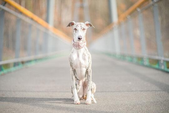 junger, hübscher Whippet Windhund sitzt erhaben und edel auf einr Brücke