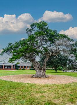 Massive Live Oak in Public Park