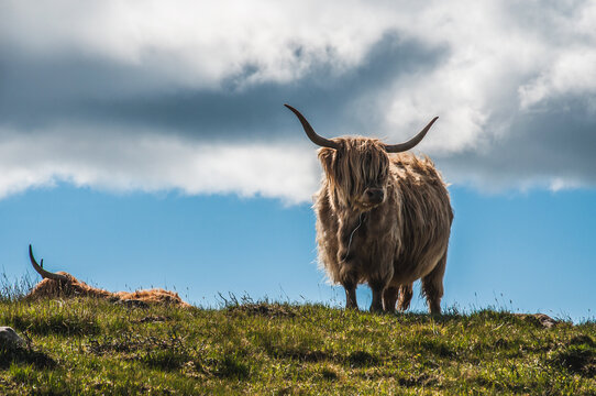 Pair Of Highlander Cows On A Meadow Under A Blue Sky With Clouds , Scotland