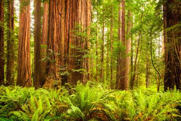 Fototapeta Giant redwoods in Northern California