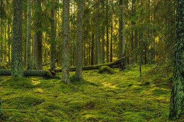 Beautiful green pine and fir forest in Sweden