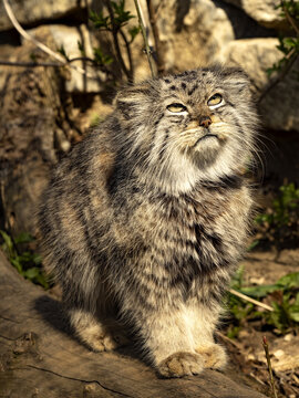 Pallas´ cat, Otocolobus manul, looks into the distance and closes his eyes to the sun