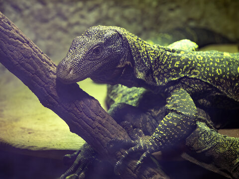Two Papua Varan, Varanus salvadorii, lie on top of each other on a branch