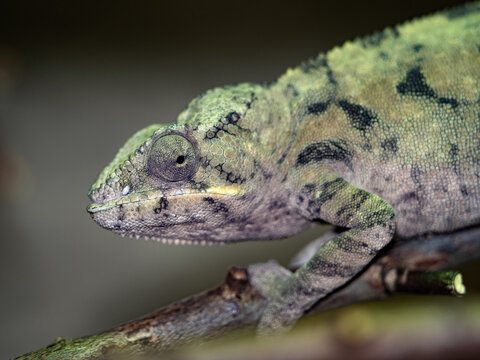 The panther chameleon, Furcifer pardalis, changes color according to the mood in a moment