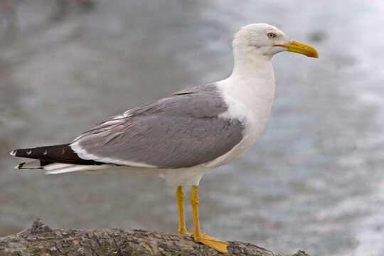 Yellow-legged Gull, Larus michahellis, by the sea