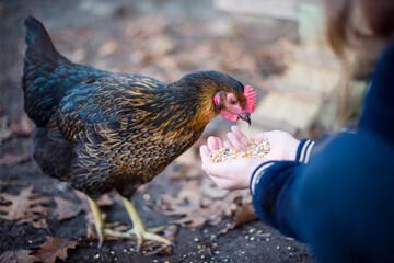 child's hands feeding chickens in the garden