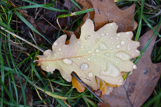 fallen oak leaf with raindrops on green grass
