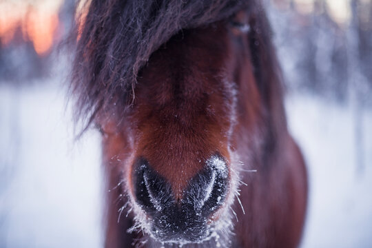 Close-up of snow on horse mouth, Sweden