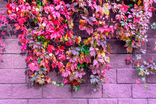Colourful foliage of decorative grapes on the pink stone wall, close up. Multi coloured fall background.