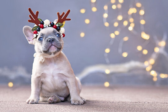 Cute French Bulldog dog puppy wearing a seasonal Christmas reindeer antler headband with autumn berries sitting in front of gray wall with chain of lights