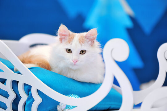 Close-up portrait of a cat sitting in the sledge against blue background