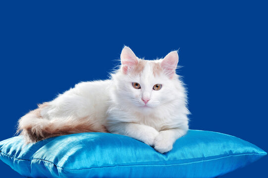 Fluffy white cat laying on the pillow against blue background