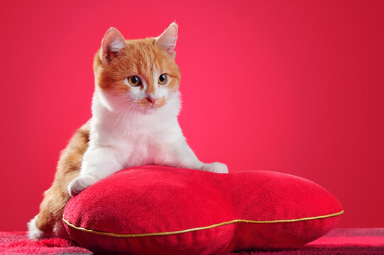 Kitten laying on the heart shaped pillow at the red background