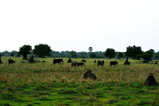 Herd in dusk..