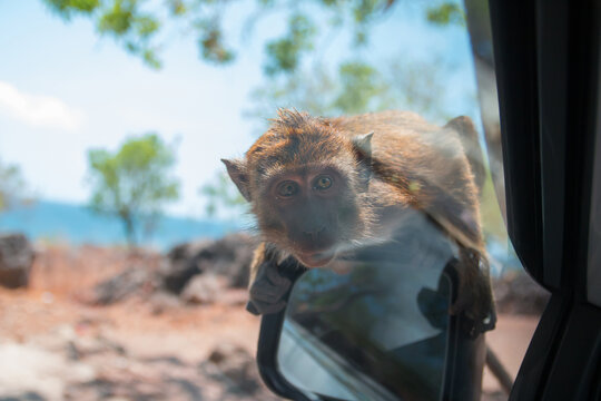 Sumba,Indonesia-September 2020: Little monkey at the car side mirror looking inside the car