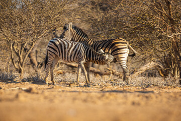 Fototapeta Steppe zebra (Equus quagga); mother is breastfeeding a foal
