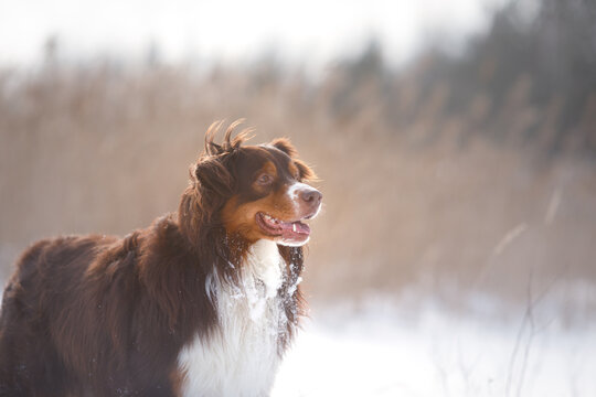 Dog in the winter in nature. australian shepherd on the snow