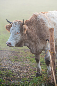 cow in the field on a misty morning in Uster, Switzerland