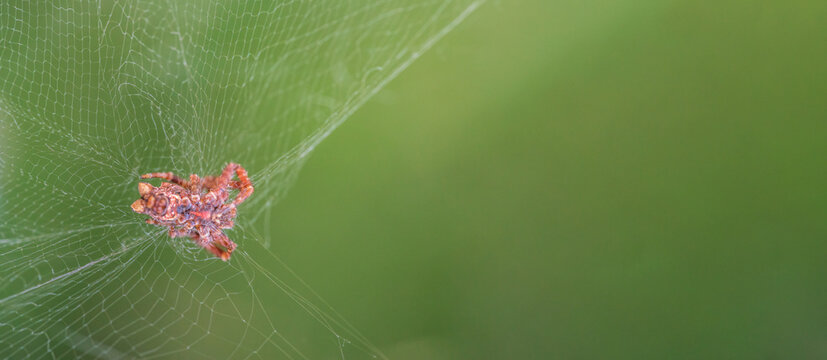 Spider and spiderweb with blurred green background at the right