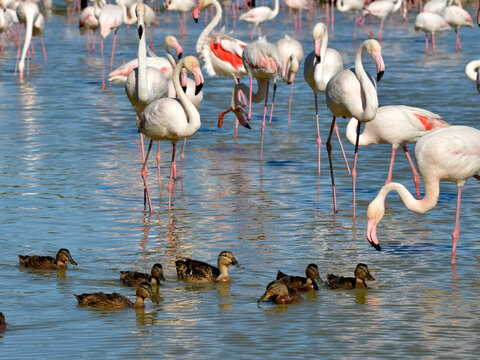 Group of flamingos (Phoenicopterus ruber) and ducks in water, in the Camargue is a natural region located south of Arles, France