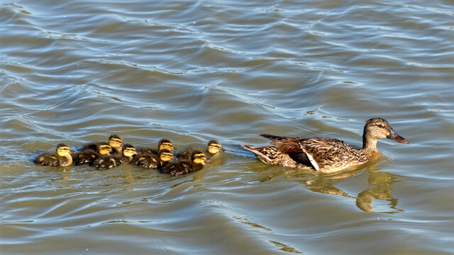 Female duck mallard (Anas platyrhynchos) swimming in Indian file with its ducklings on a lake