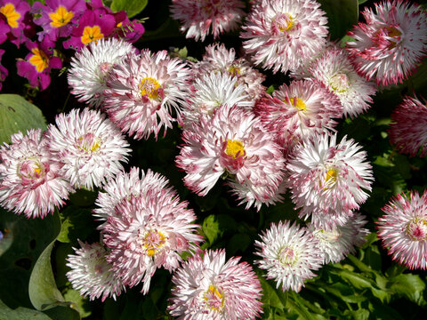 Background of white and red daisies
