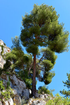 Big pine on the rock de Moutierrs Sainte Marie in the french Alps