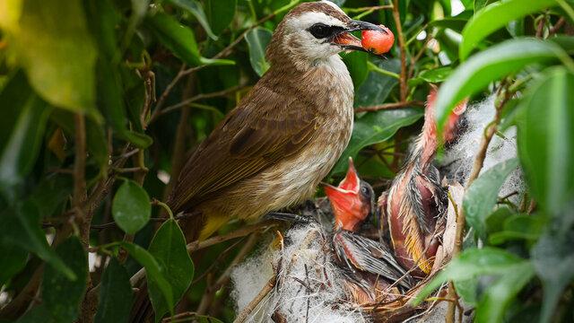 Mother bird feeding bapy birds in a nest of yellow-vented bulbul (Pycnonotus goiavier)