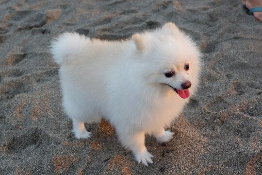 A cute Samoyed puppy on the beach