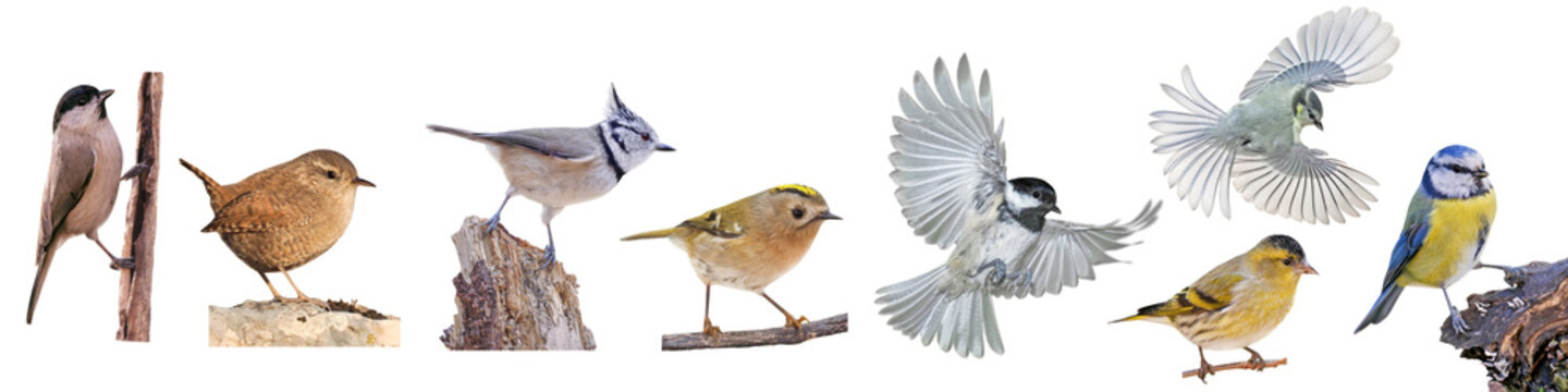 Collection of European small birds, isolated on white background