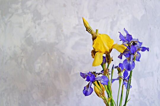 Summer flowers, yellow and blue irises on a gray concrete background. Flower composition. Valentine's day concept.