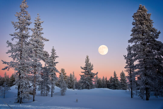 Landscape of snowy trees in winter in Lapland, Finland with moon rising at dusk